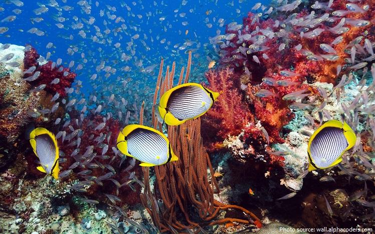 butterflyfish-3