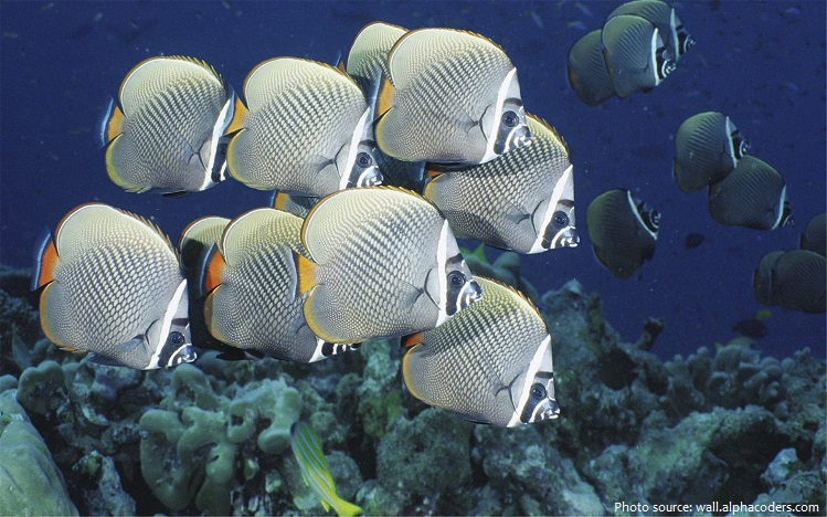 butterflyfish-4