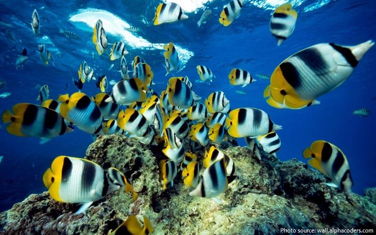 butterflyfish-6