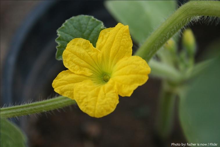 cantaloupe flower