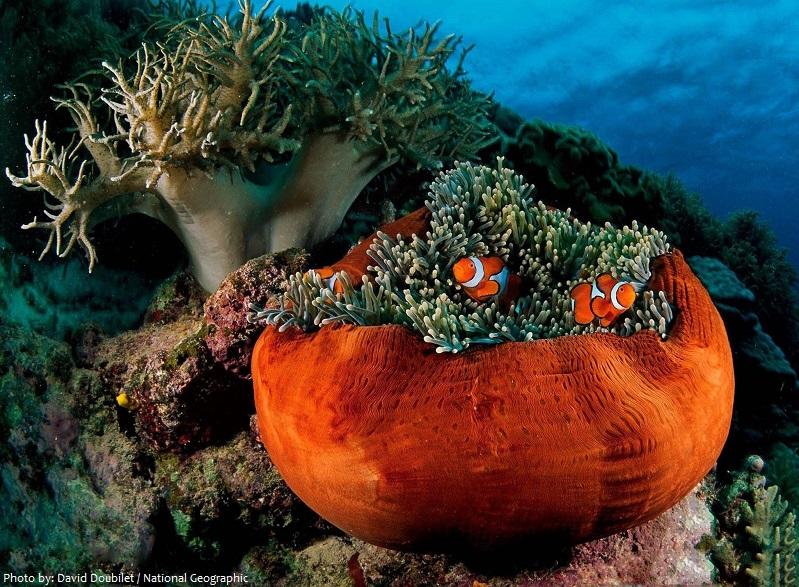 clownfish-3
