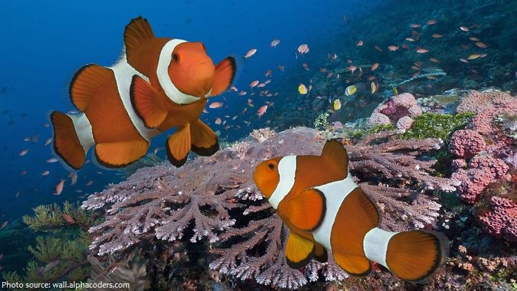 clownfish-4