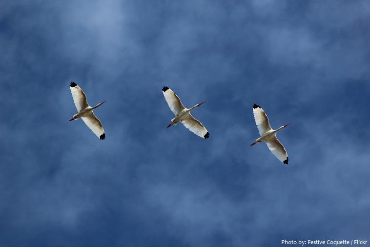 ibis-4