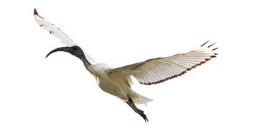 ibis-5