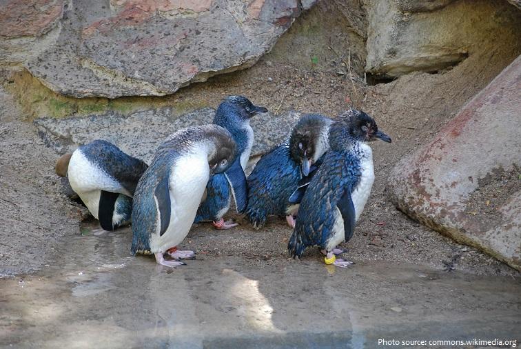 little-penguins-2