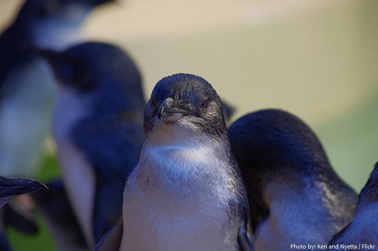 little-penguins-3