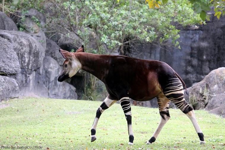 okapi-4