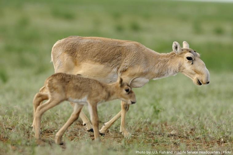 saiga mother and cub