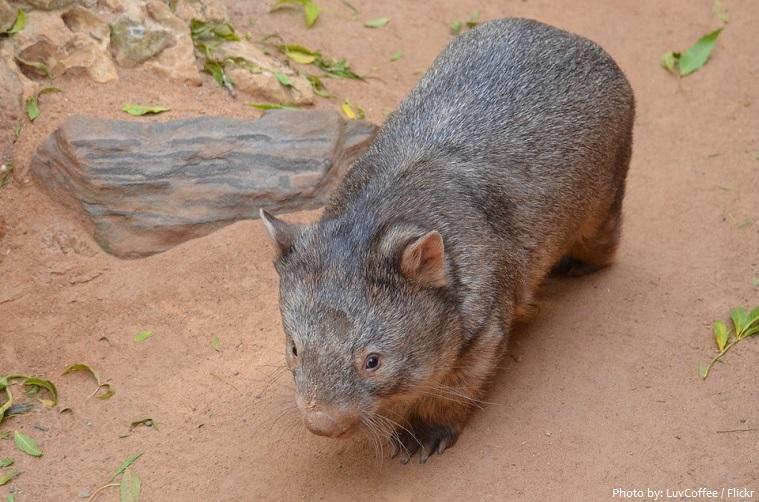 wombat-2