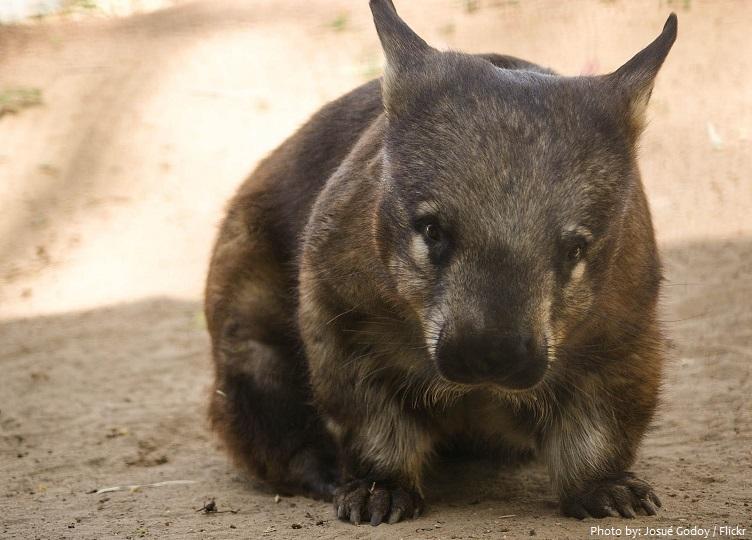 wombat-3