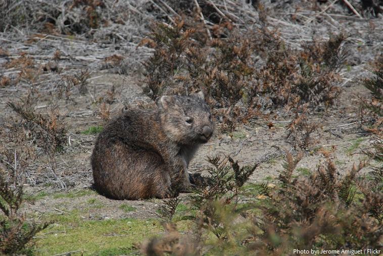 wombat-4