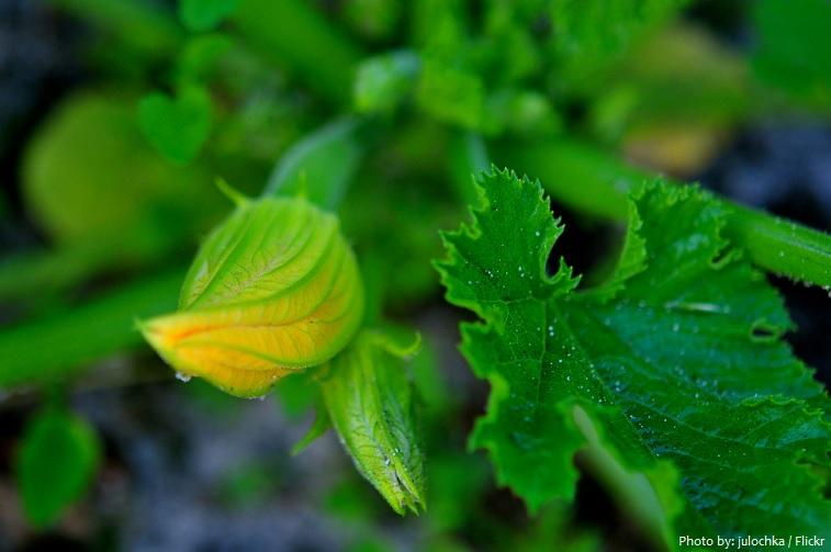 zucchini leaves