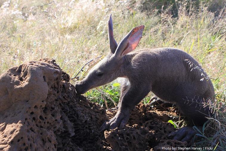 aardvark-4