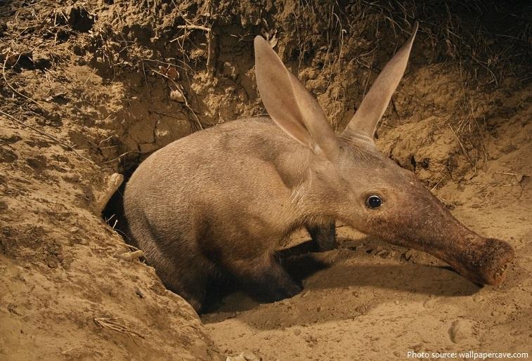aardvark-5