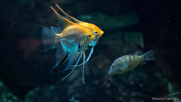 angelfish-4