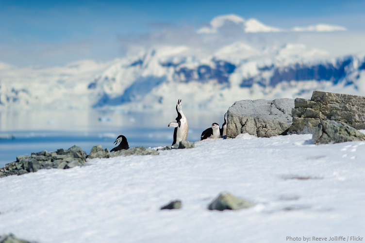 chinstrap-penguins-2