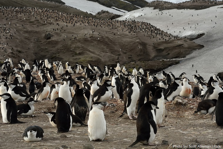 chinstrap-penguins-3