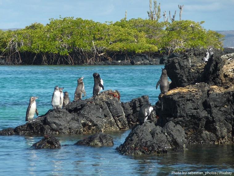 galapagos-penguins-2