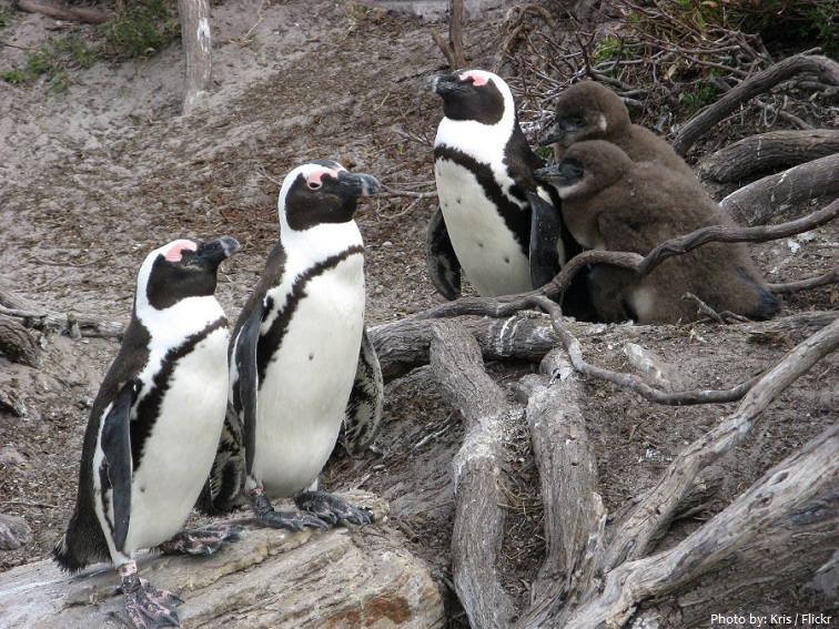 galapagos-penguins-4