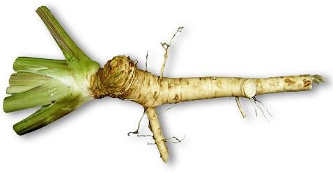 horseradish-3