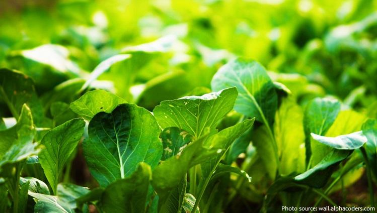 spinach-4