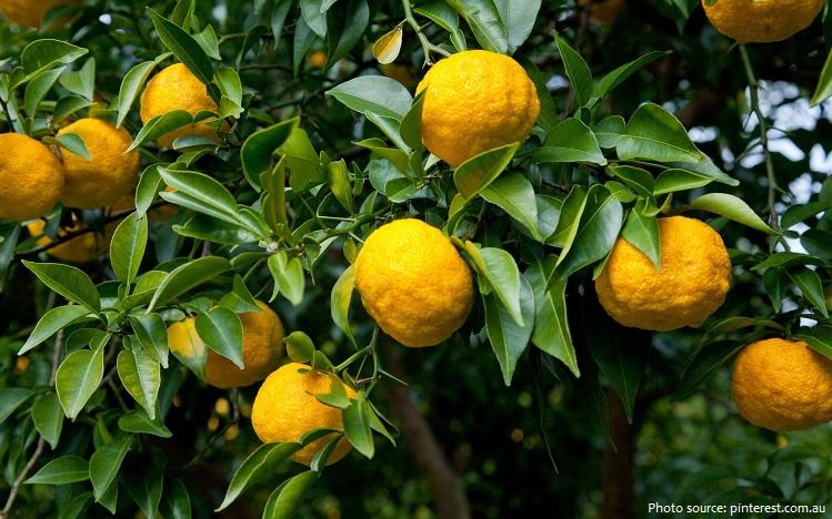 citron-4