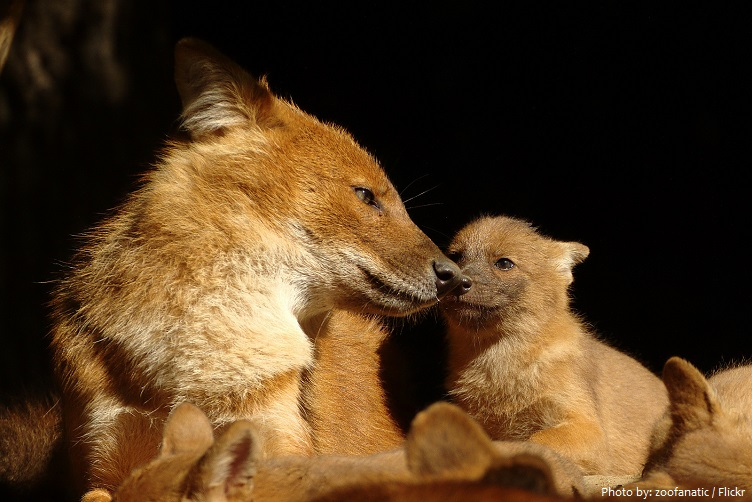 dhole mother with cubs