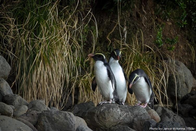 fiordland-penguin-2