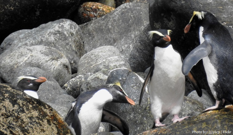 fiordland-penguin-3