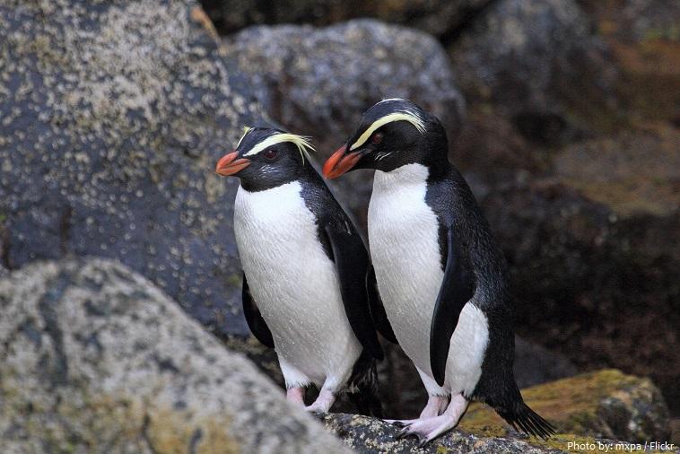 fiordland-penguin-4