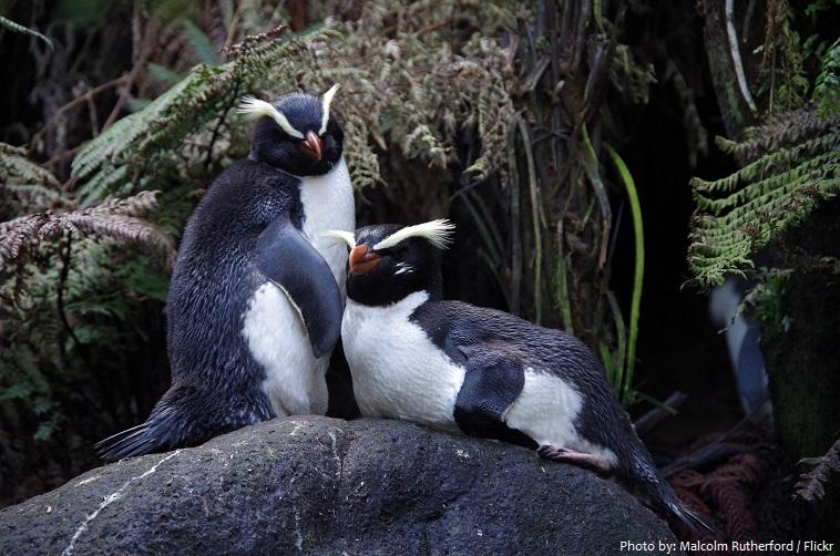 fiordland-penguin-5