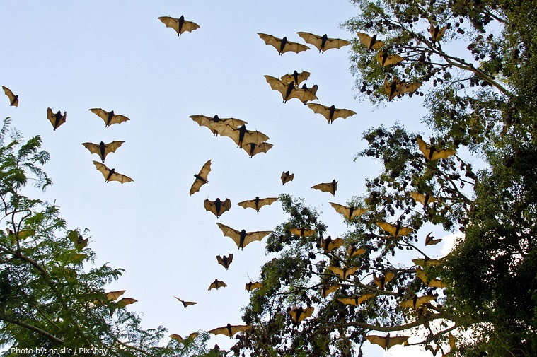 flying-foxes-2
