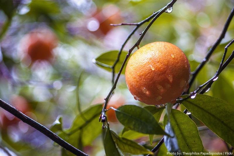 mandarin-oranges-4