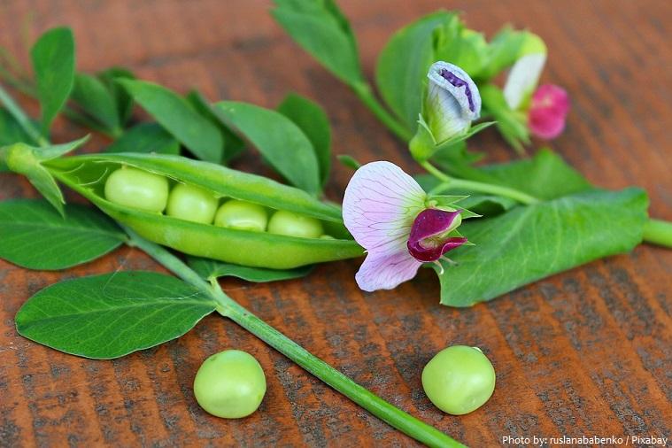 peas-4