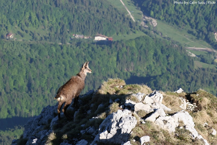 carpathian mountains animal