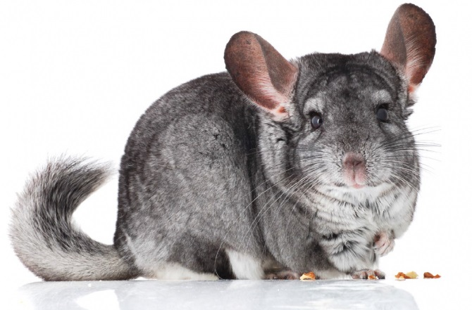 chinchilla-3