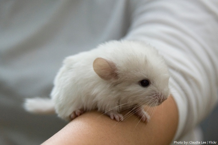 chinchilla pet