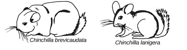 chinchilla species