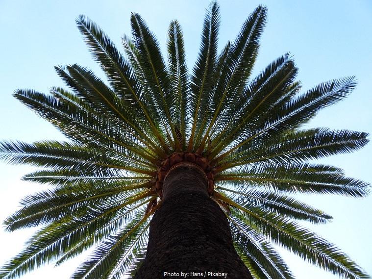 date-palm-2