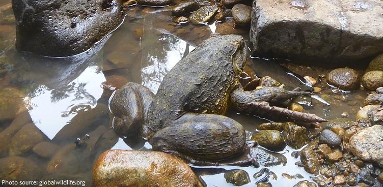 goliath-frog-2