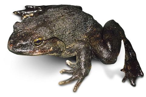 goliath-frog-3