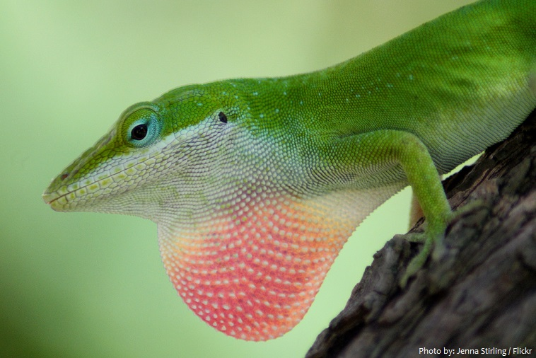 green-anole-2