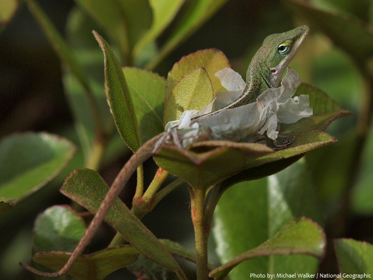 green-anole-4