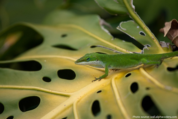 green-anole-5