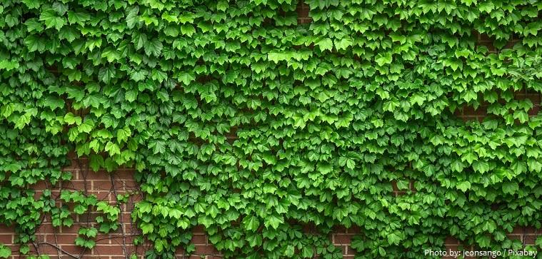 ivy-3
