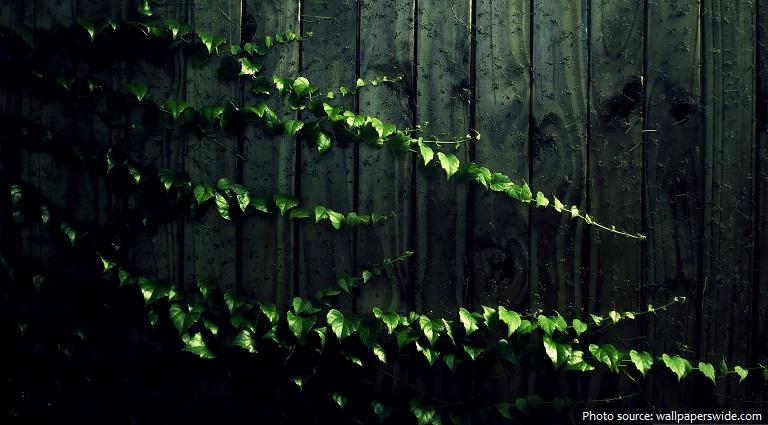 ivy-4