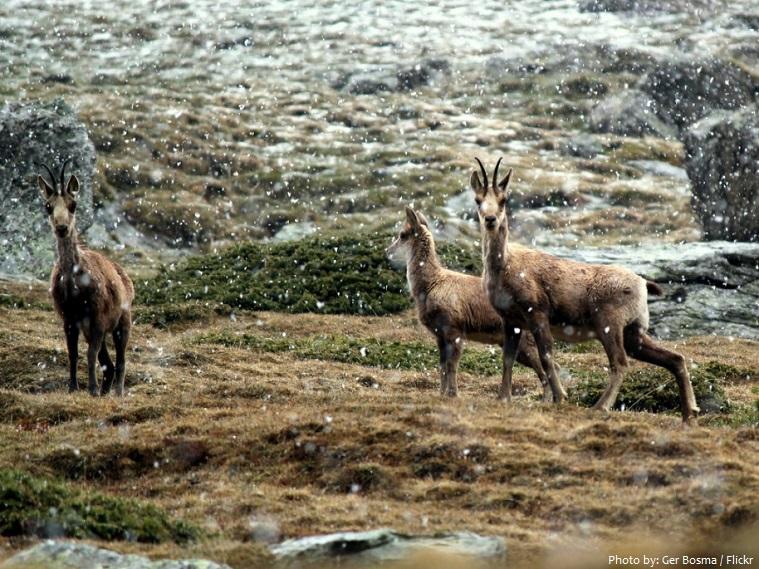 pyrenees ibex