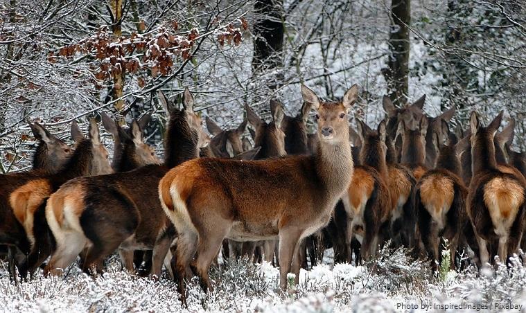 red-deer-3