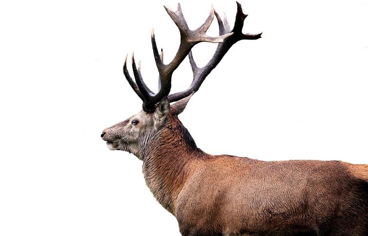 red-deer-5