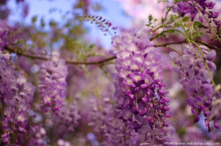wisteria-3